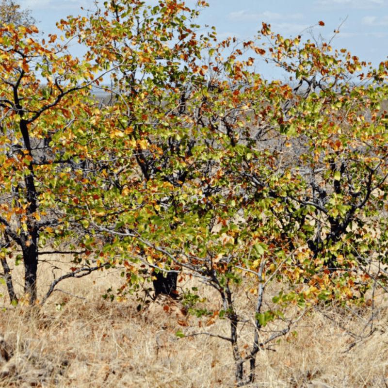 Mopane Trees Kruger Park