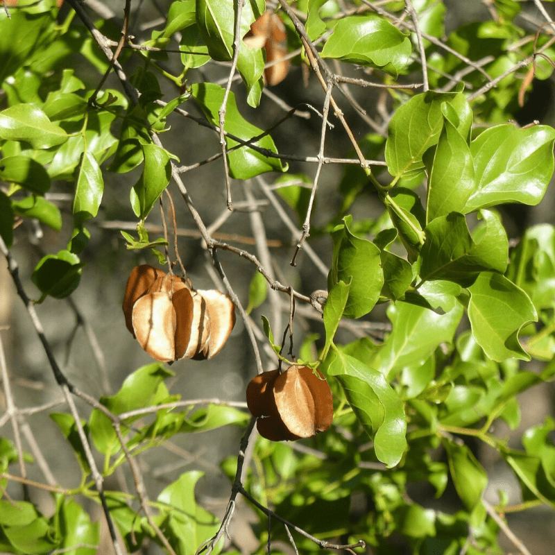 Red Bushwillow Leaves & Pod