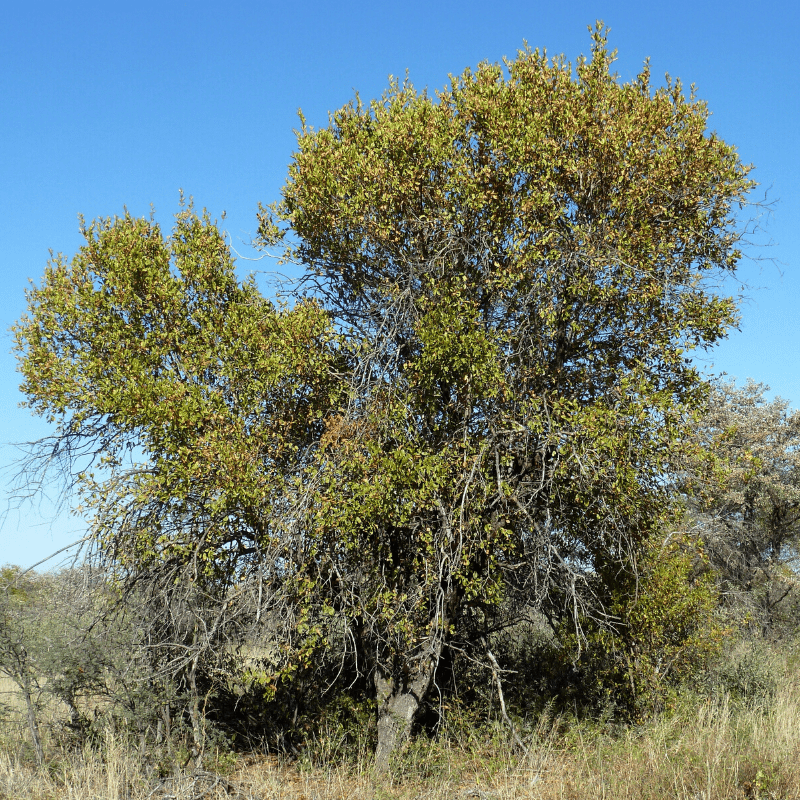 Red Bushwillow Tree