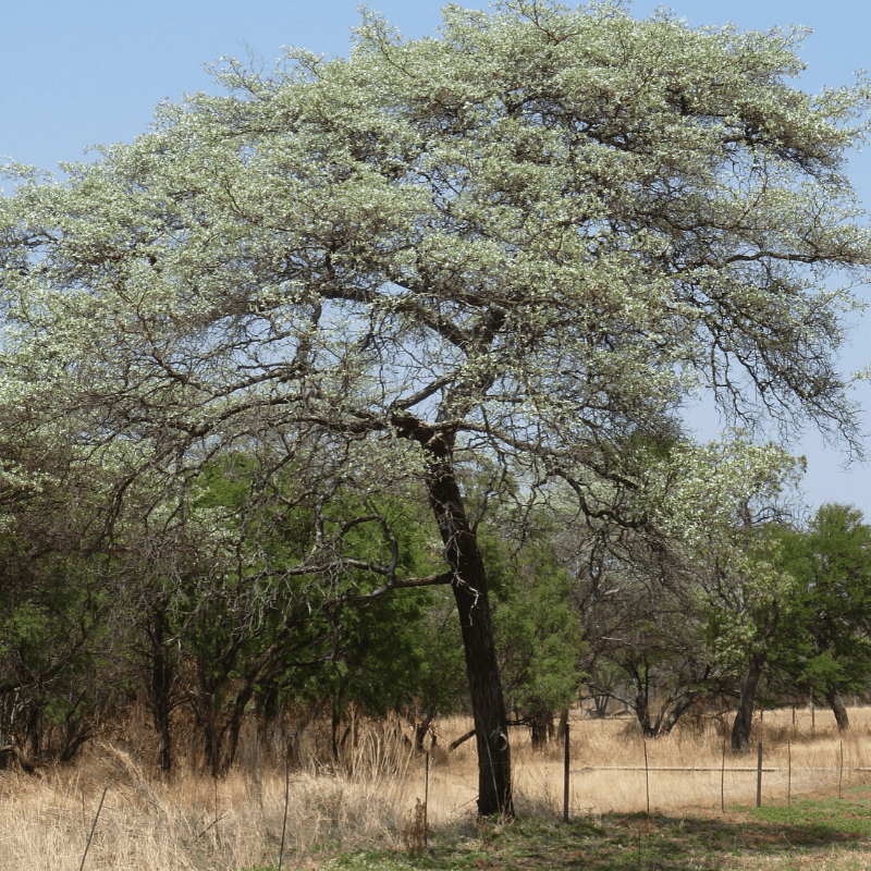 Silver Cluster Leaf Kruger Park Tree