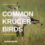 Common Birds of Kruger Park