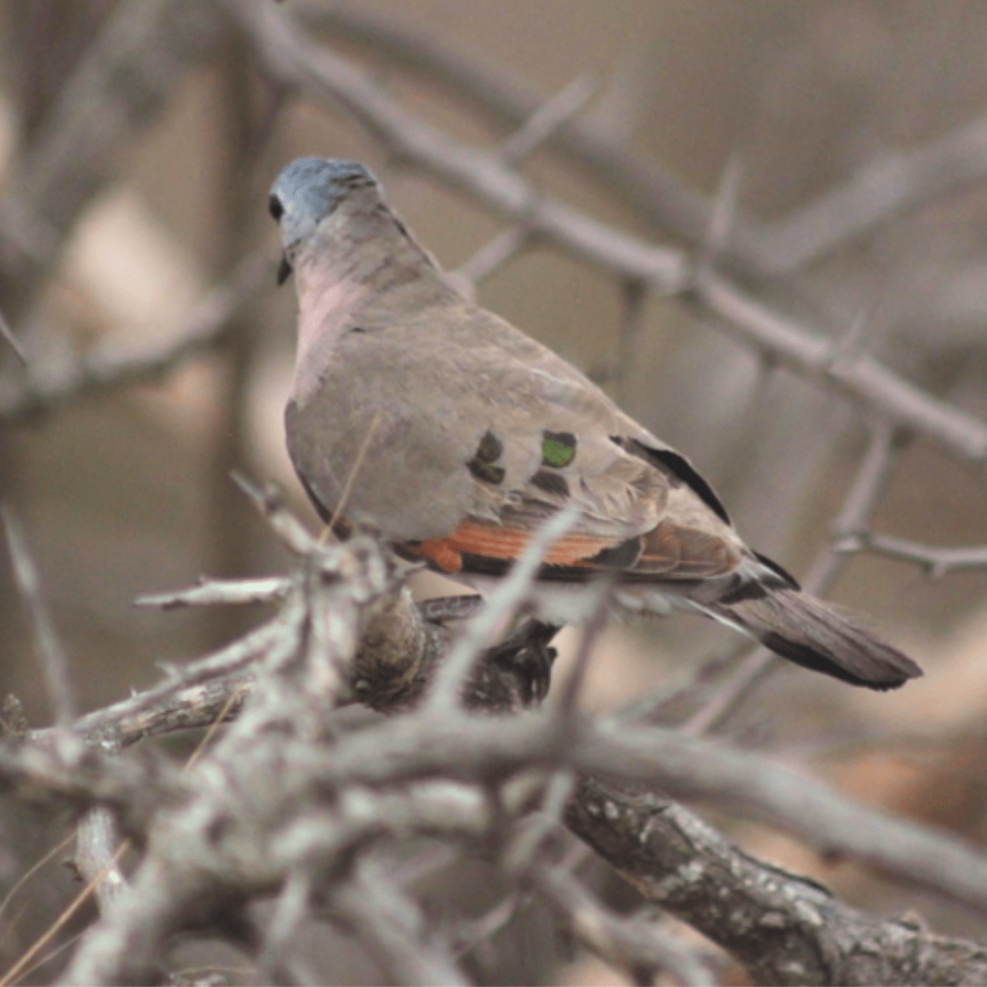 Emerald Spotted Wooddove