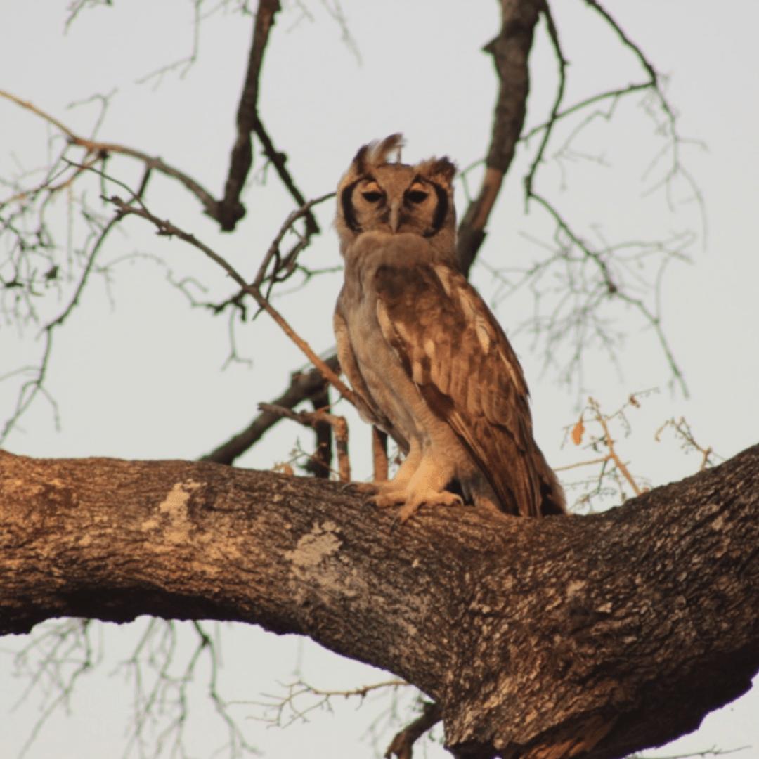 Verrauxes Eagle Owl
