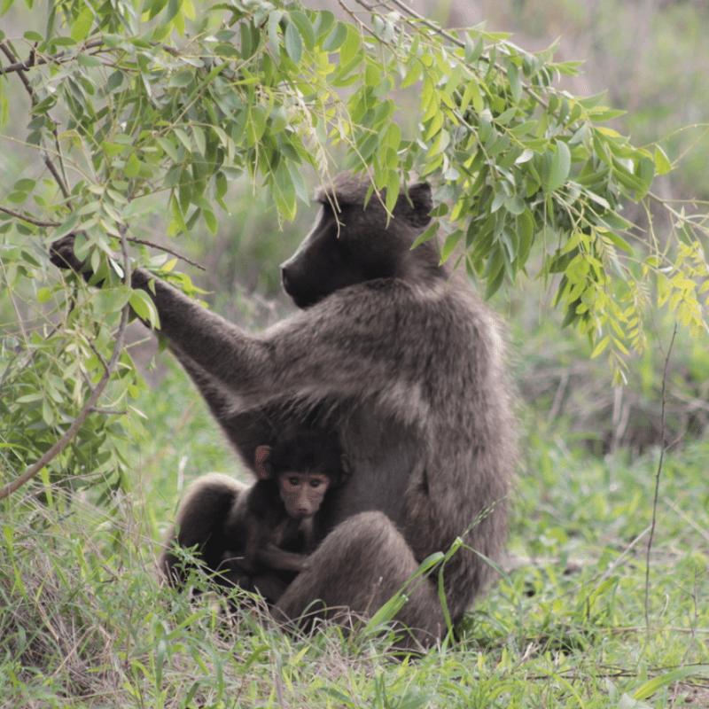 Baboon_Kruger National Park_Safaria