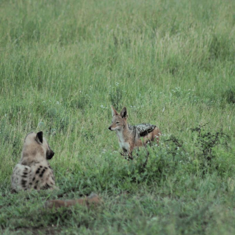 Black Backed Jackal_Kruger National Park_Safaria