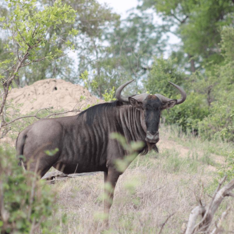 Blue Wildebeest_Kruger National Park_Safaria