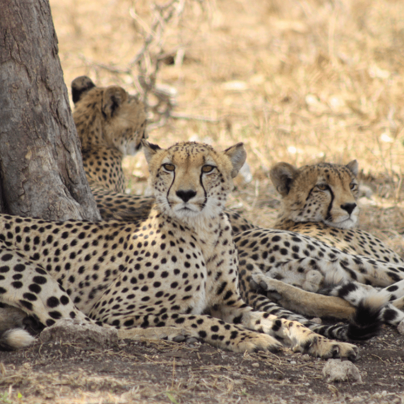Cheetah_Kruger National Park_Safaria
