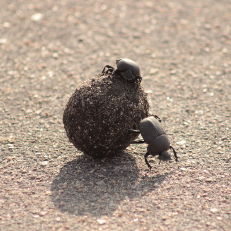 Dung Beetle_Kruger National Park_Safaria
