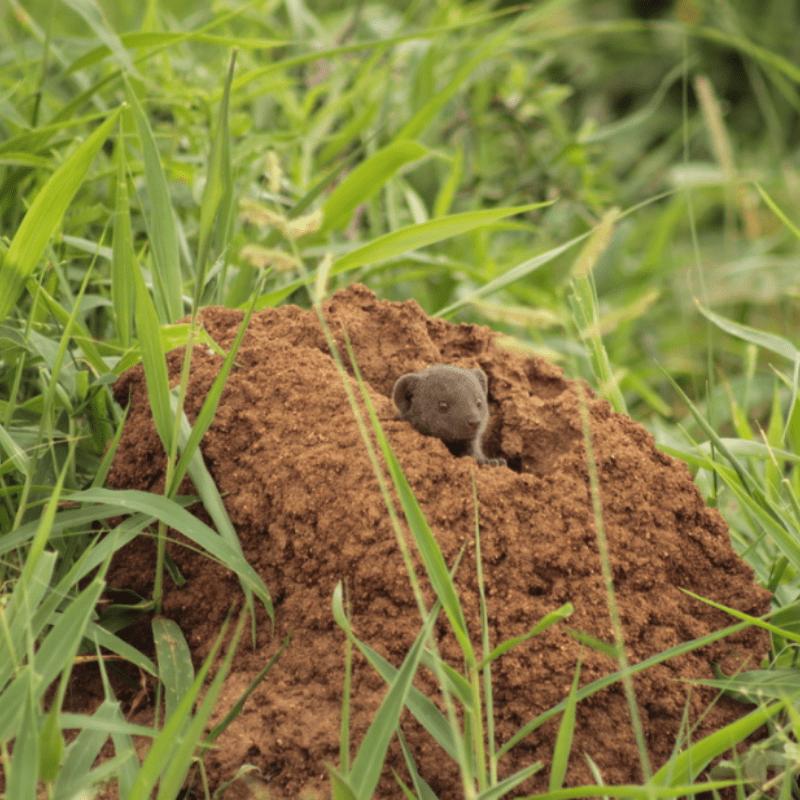 Dwarf Mongoose_Kruger National Park_Safaria