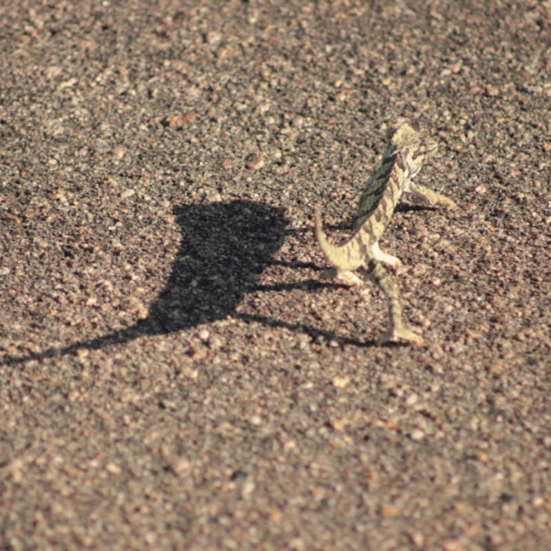 Flappet Necked Chameleon_Kruger National Park_Safaria