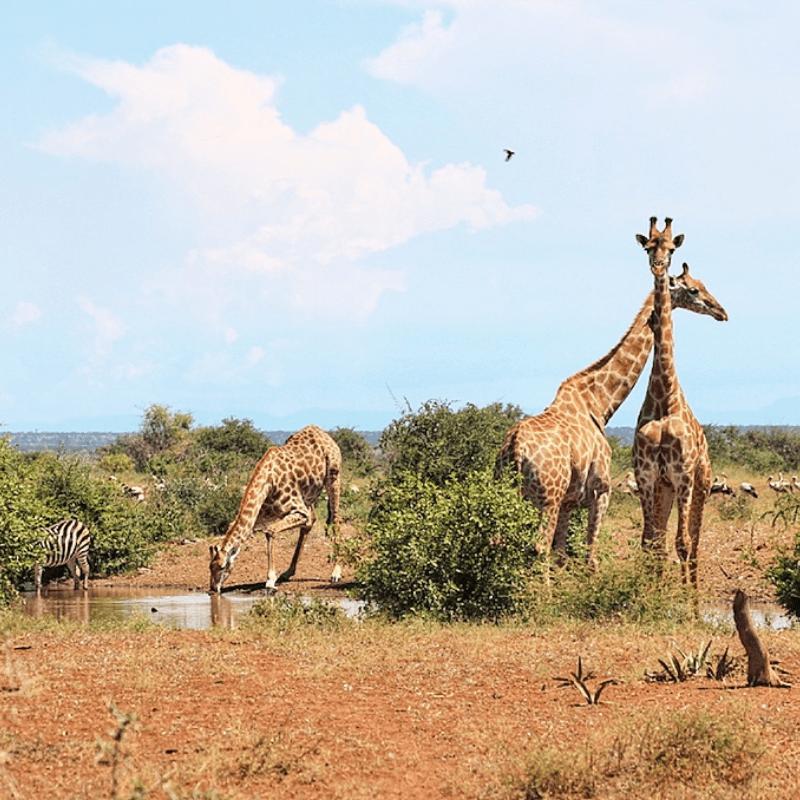 Giraffe_Kruger National Park_Safaria