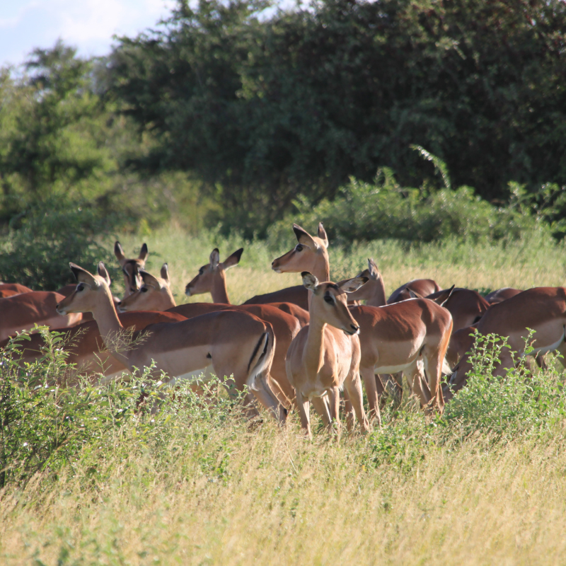 Impala_Kruger National Park_Safaria