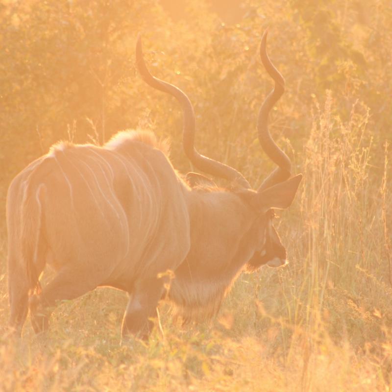 Kudu_Kruger National Park_Safaria