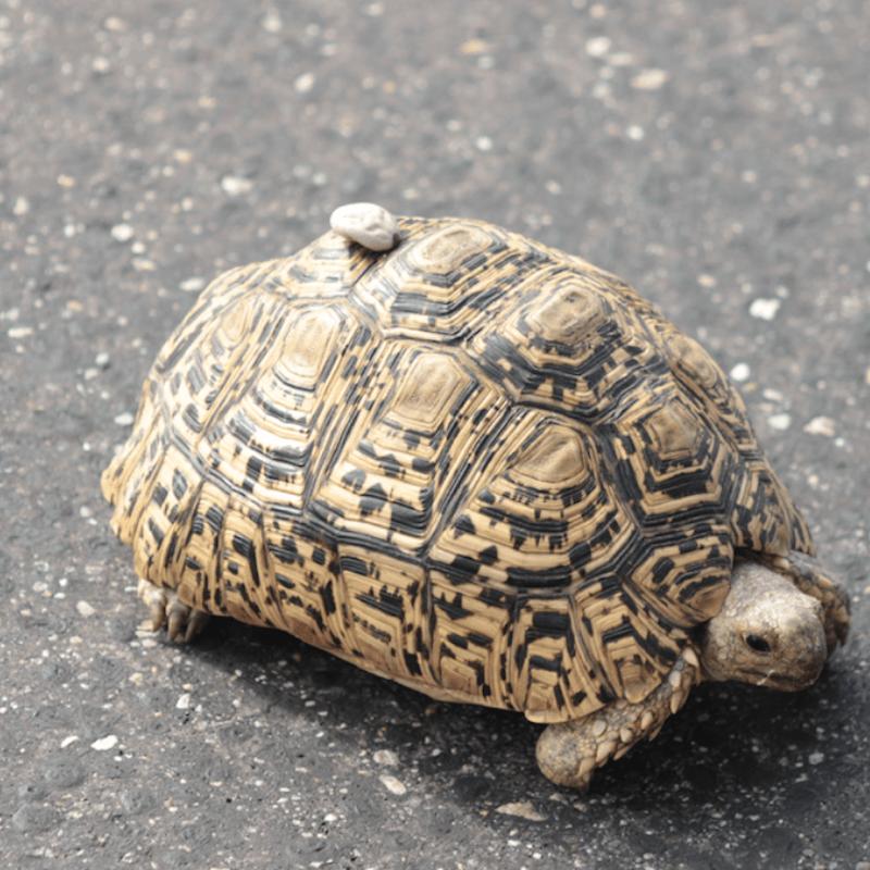 Leopard Tortoise_Kruger National Park_Safaria