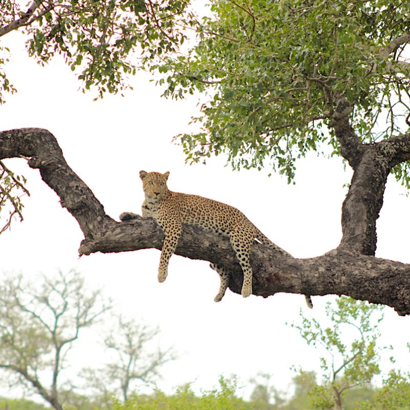 Leopard_Kruger National Park_Safaria