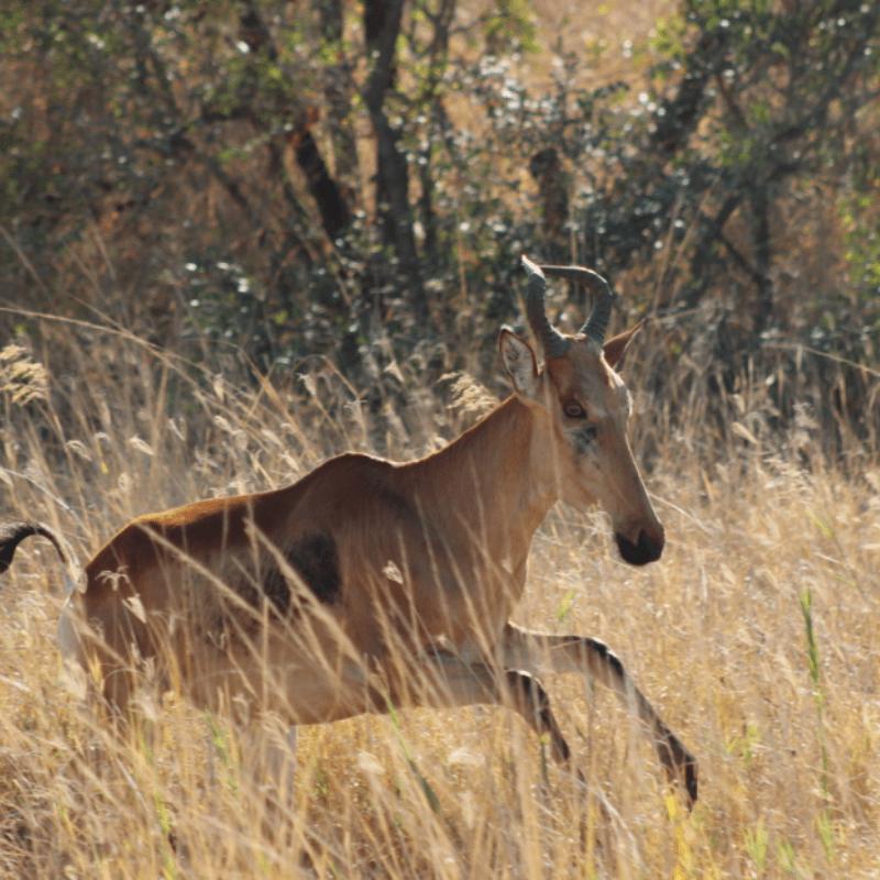 Lichtenstein Hartebeest_Kruger National Park_Safaria