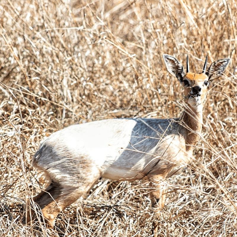Steenbok_Kruger National Park_Safaria