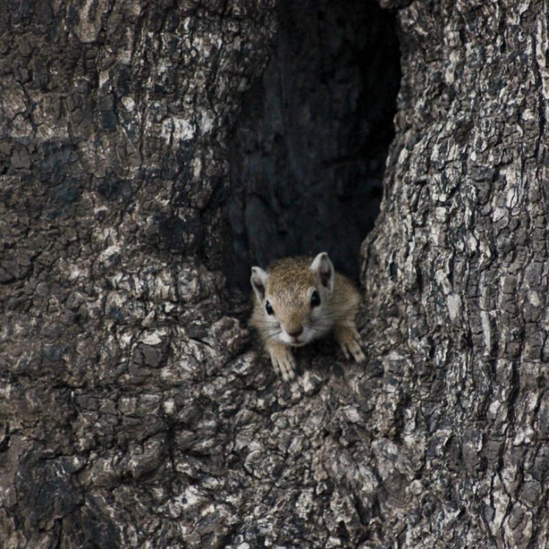 Tree Squirrel_Kruger National Park_Safaria