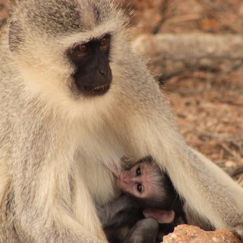 Vervet Monkey_Kruger National Park_Safaria