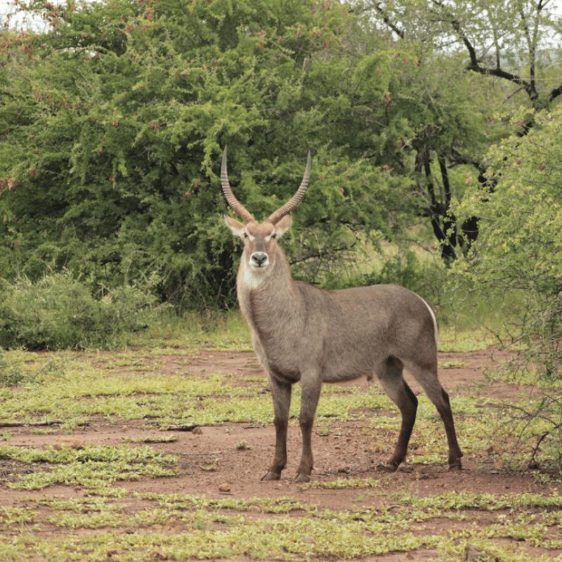 Waterbuck_Kruger National Park_Safaria