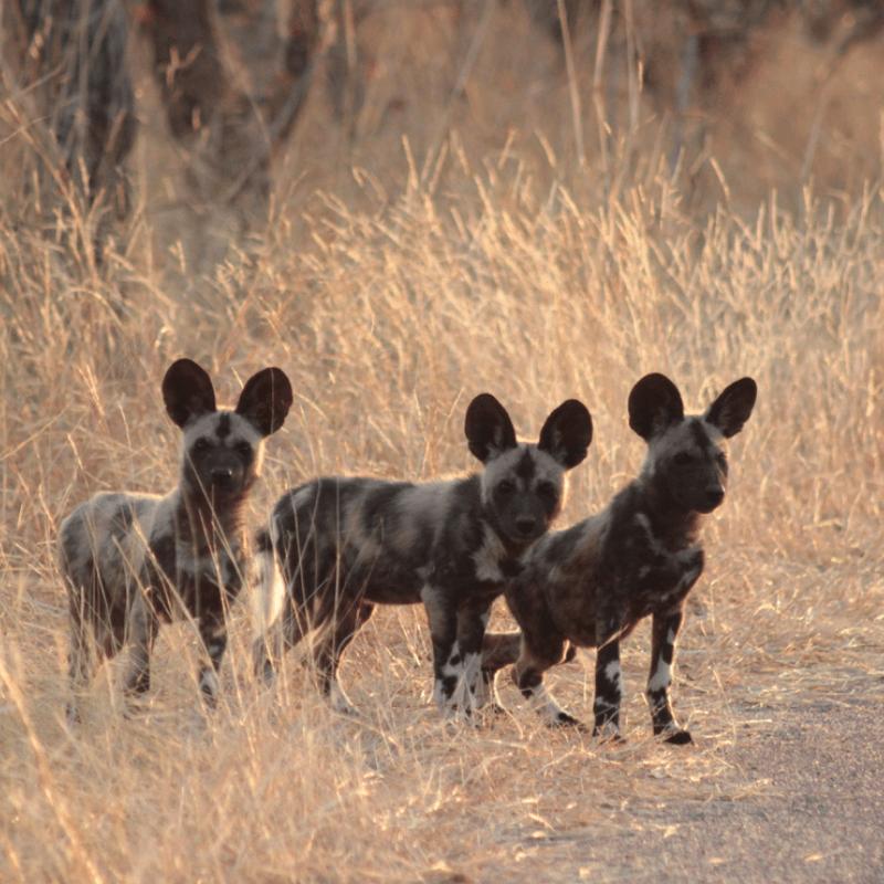 Wilddog_Kruger National Park_Safaria