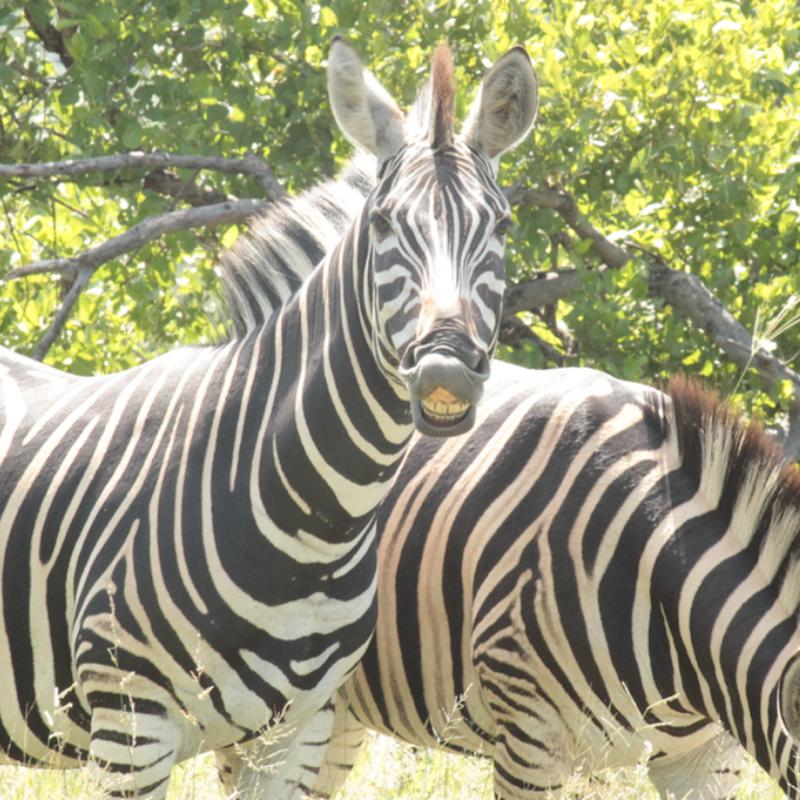 Zebra_Kruger National Park_Safaria